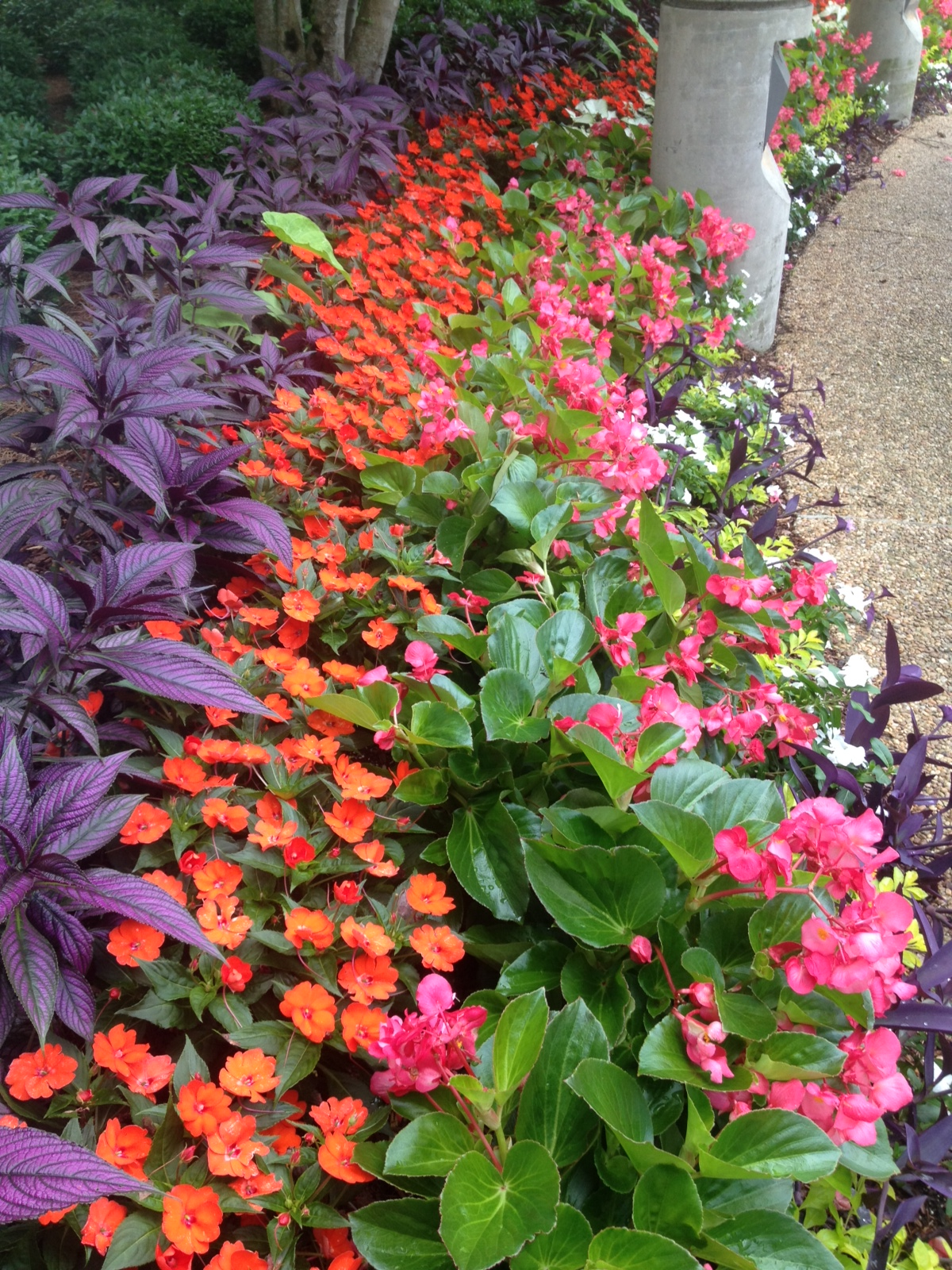 Summer watering part ii blackjack horticulture when this annual does not get enough water it begins to wilt like the vinca for the opposite reason insufficient amounts of water can also stunt the izmirmasajfo Gallery